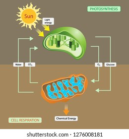 illustration of biology and biochemistry, Photosynthesis and Cellular Respiration. Chloroplast and Mitochondria
