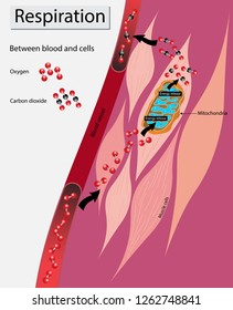 illustration of biology, Breathing and gas exchange in mitochondria cells, Respiration between blood and cells