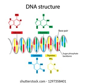 illustration of biology and chemistry, DNA structure Nucleotide, Phosphate, Sugar, and bases,thymine, adenine, guanine, and cytosine