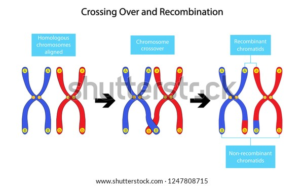 The Recombination of Genetic Material