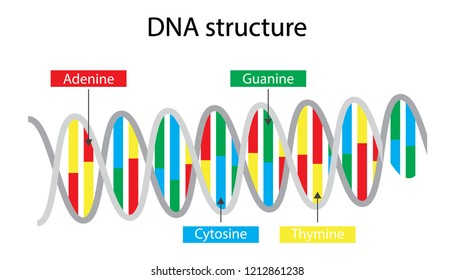 illustration of biology, DNA is made up of molecules called nucleotide, Each nucleotide contains a phosphate group, DNA structure diagram