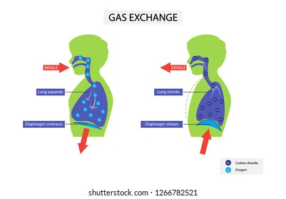 illustration of biology, Gas exchange, breathing helps bring fresh supplies of oxygen into the blood and flush away carbon dioxide