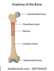 Illustration of biology and medical, Anatomy of the bone, Bone is living tissue that makes up the body's skeleton