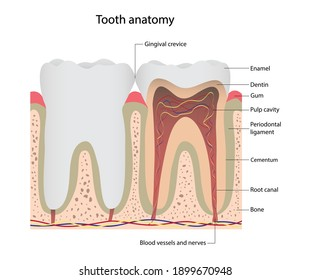Illustration of biology and medical, Tooth anatomy, Anatomy of molars and incisors, Parts of a tooth