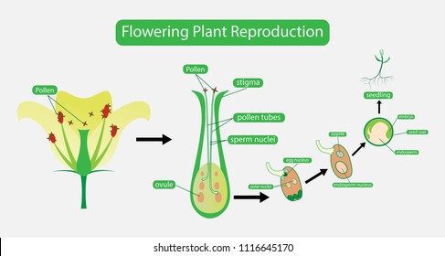 Plant Reproduction Images Stock Photos Vectors Shutterstock