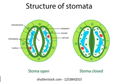 illustration of biology, Structure of stomatal complex with open and closed stoma with titles diagram