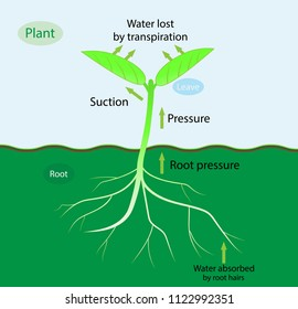 illustration of biology, Transpiration of plant