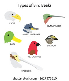 illustration of biology, Types of Bird Beaks,  bird beaks are categorised according to their shape and the function