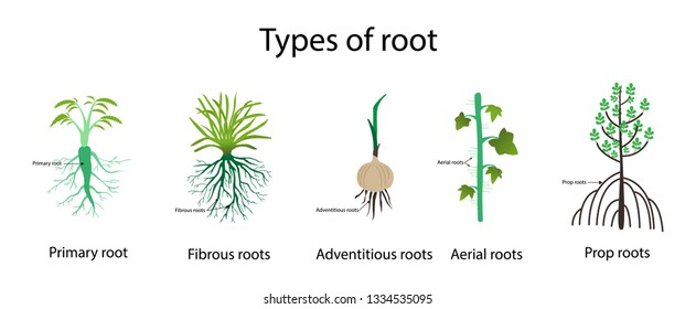 illustration of biology, Types of roots,  Root is the organ of a plant that typically lies below the surface of the soil