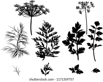 illustration with black dill and parsley plants isolated on white background