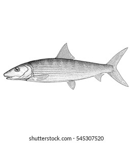 Illustration of a Bonefish