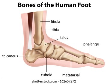 Illustration of the bones of the human foot on a white background