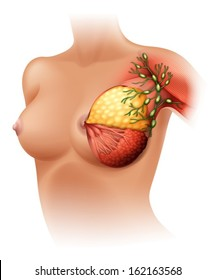 Illustration of the breast Anatomy on a white background