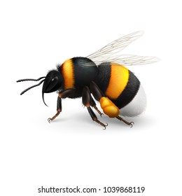 Illustration of Bumblebee Species Bombus Terrestris Common Name Buff-Tailed Bumblebee or Large Earth Bumblebee on White Background