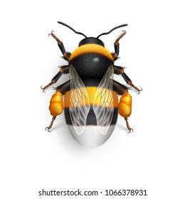 Illustration of Bumblebee Species Bombus Terrestris Common Name Buff-Tailed Bumblebee or Large Earth Bumblebee. Top View on White Background