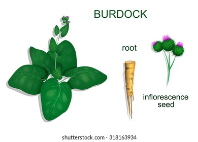 illustration of burdock roots and inflorescence