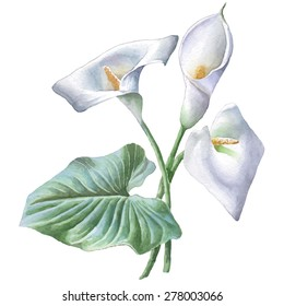 Illustration with calla. Watercolor. Vector. Hand drawn.