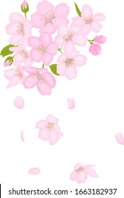 It is illustration of cherry tree drawn by watercolor.