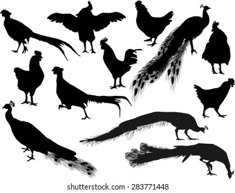 illustration with chicken and peacock silhouettes isolated on white background