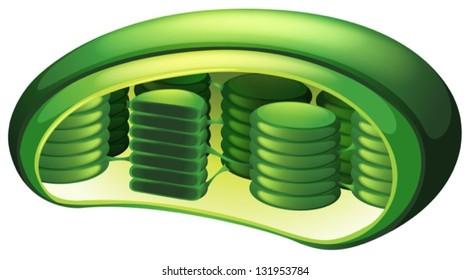 Illustration of a chloroplast