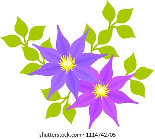The illustration of clematis