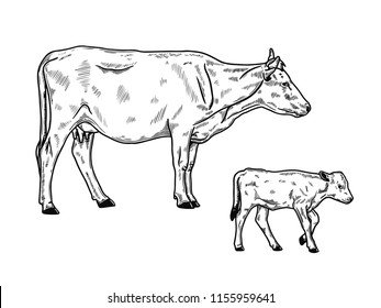 illustration of cow standing and calf,  hand drawn sketch style
