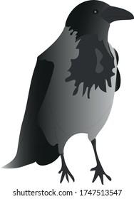 Illustration of crow sitting or standing. Latin name Corvus cornix. Bird.