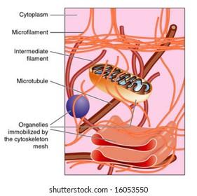Illustration of cytoskeleton