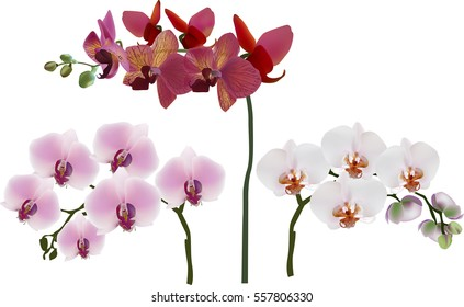 illustration with dark and light pink orchids isolated on white background