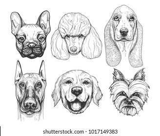 illustration of a different dog breeds portraits. Pug or french bulldog (frenchie), poodle, basset hound, doberman, labrador retriever, yorkshire terrier. Hand drawn, detailed vintage pen drawing styl