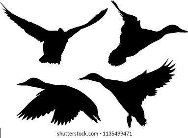 illustration with ducks isolated on white background