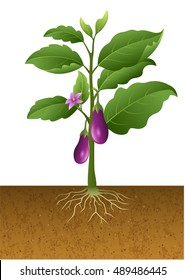 Illustration of eggplant with root under ground