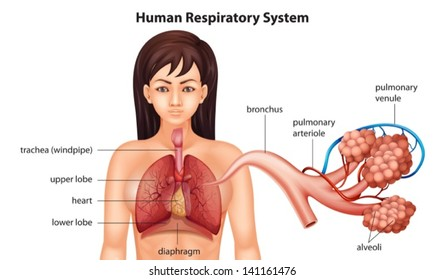 Illustration of the female human respiratory system