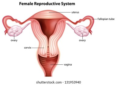 Illustration of female reproductive system