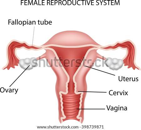 Illustration Female Reproductive System Stock Vector (Royalty Free ...