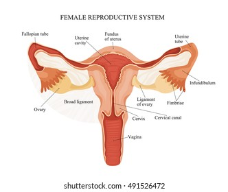 Female reproductive system images stock photos vectors shutterstock illustration of female reproductive system human anatomy ccuart Image collections