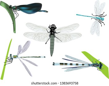 illustration with five dragonflies isolated on white background