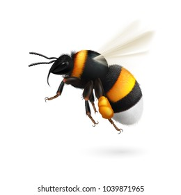 Illustration of Flying Bumblebee Species Bombus Terrestris Common Name Buff-Tailed Bumblebee or Large Earth Bumblebee on White Background