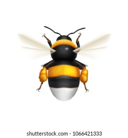 Illustration of Flying Bumblebee Species Bombus Terrestris Common Name Buff-Tailed Bumblebee or Large Earth Bumblebee. Top View on White Background