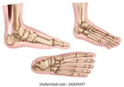 Illustration of the foot bones on a white background
