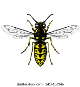 Illustration of a German Wasp (Vespula Germanica) in an etched style