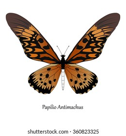 Illustration of Giant African Swallowtail - Papilio antimachus