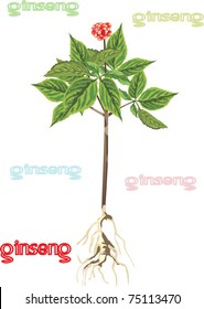 illustration with ginseng isolated on white background