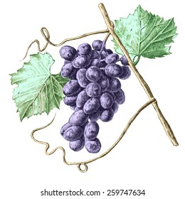 Illustration with grapes and leaves. hand draw.