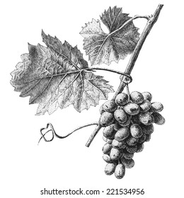 Illustration with grapes and leaves on a light background