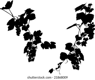Illustration with grapes and leaves on white background