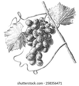Illustration with grapes and leaves on a white background