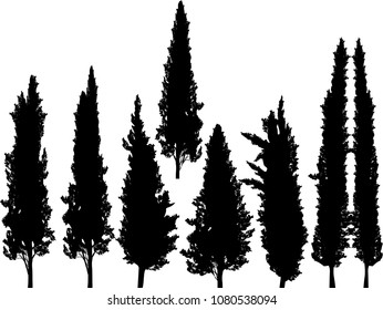 illustration with group of cypresses isolated on white background