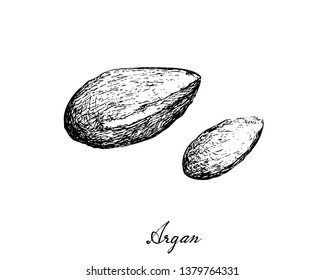 Illustration Hand Drawn Sketch of Argan or Argania Spinosa Seeds, Used for Cosmetic Purposes.