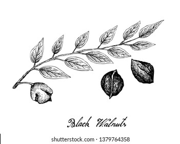 Illustration Hand Drawn Sketch of Black Walnuts or Juglans Ni-gra on A Tree, Good Source of Dietary Fiber, Vitamins and Minerals.